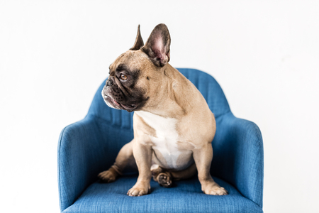 adorable purebred french bulldog sitting on blue chair isolated on grey