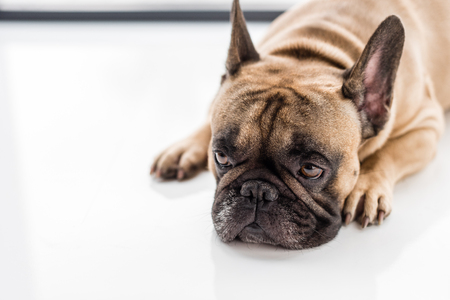 close-up view of upset french bulldog lying on floor and looking away Stock Photo