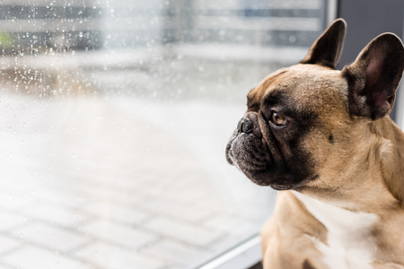 close-up view of purebred french bulldog looking at window with raindrops
