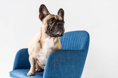 cute purebred french bulldog sitting on chair isolated on grey