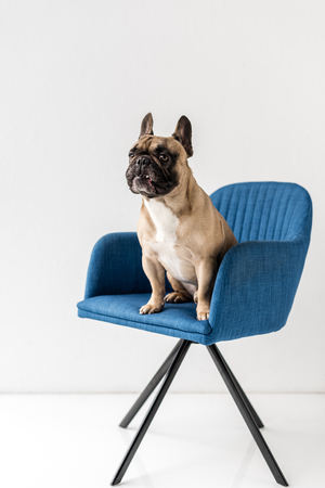 cute french bulldog sitting on blue chair isolated on grey