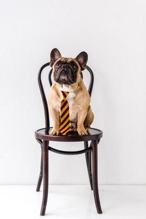 purebred French Bulldog in striped necktie sitting on chair Stock fotó