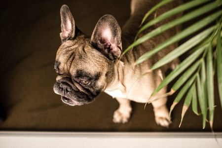 high angle view of adorable purebred French Bulldog looking away indoors