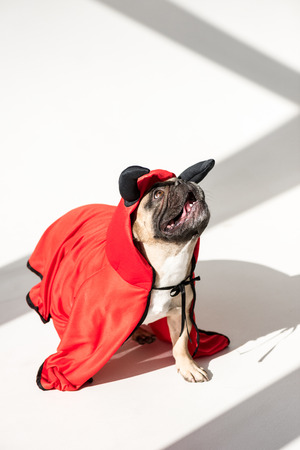 adorable french bulldog in superhero costume looking up on white Banco de Imagens