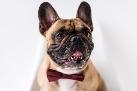 close-up view of adorable french purebred french bulldog with bow tie on white Stock Photo