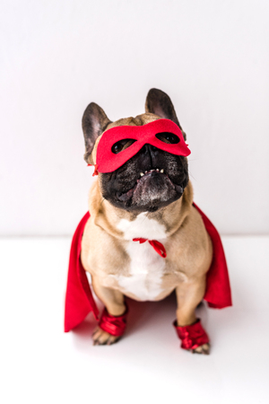 adorable french bulldog in superhero costume sitting on white