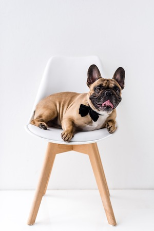 funny purebred french bulldog with black bow tie lying on chair Stock Photo