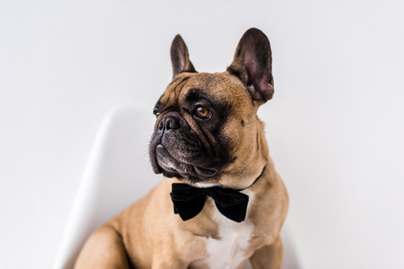 adorable purebred french bulldog with black bow tie looking away on white Stock Photo
