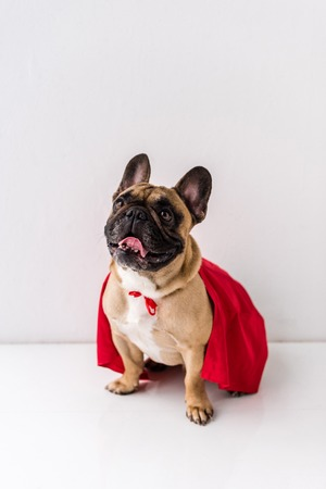 funny french bulldog in red cloak sitting on white 写真素材