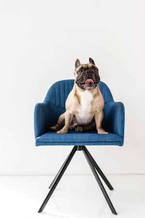 cute purebred french bulldog sitting on blue chair isolated on grey Stock Photo