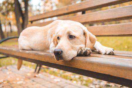 upset labrador retriever dog lying on bench in autumn park