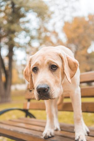 upset labrador retriever dog standing on bench in autumn park Imagens