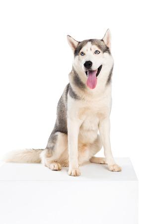 studio shot of siberian husky dog, isolated on white