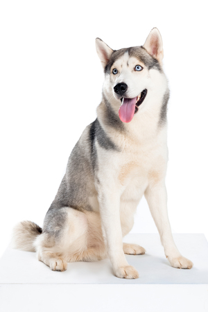 studio shot of siberian husky dog, isolated on white
