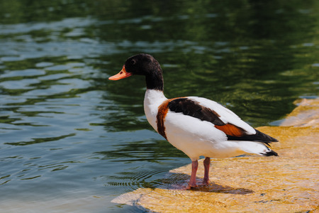 selective focus of duck standing on shallow water Фото со стока