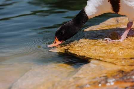 selective focus of duck drinking water from pond