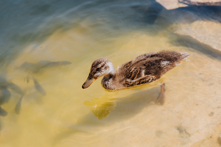 close up view of duckling and flock of fishes swimming in pond