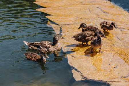 selective focus of flock of ducklings with mother in water Stock Photo
