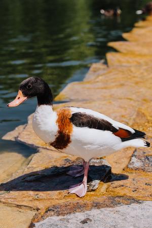 selective focus of duck standing on shallow water Stock fotó