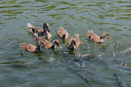 close up view of ducklings with mother and flock of fishes swimming in water