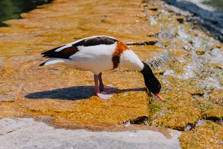 side view of duck standing on shallow water and drinking