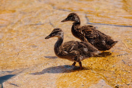 selective focus of two ducklings walking on shallow water Stock Photo
