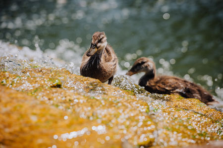 selective focus of two ducklings standing in water Stock Photo