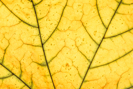 Close up view of yellow leaf veins Stock Photo