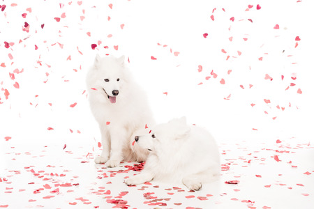 two samoyed dogs under falling heart shaped confetti on white, valentines day concept 版權商用圖片