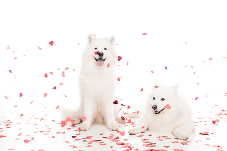two samoyed dogs under falling heart shaped confetti on white, valentines day concept Imagens