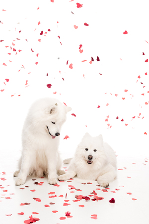 two samoyed dogs under falling heart shaped confetti on white, valentines day concept Reklamní fotografie