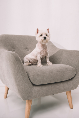 adorable fluffy west highland white terrier sitting on armchair