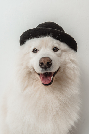 adorable fluffy samoyed dog in hat looking at camera