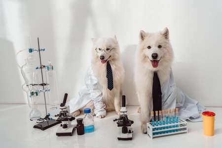 due soffici cani scienziati camici da laboratorio che lavorano con microscopi e provette in laboratorio Archivio Fotografico