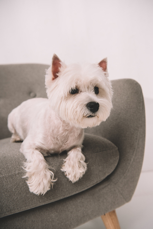 adorable west highland white terrier lying on armchair