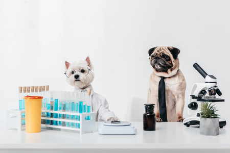 two dogs scientists in necktie, eyeglasses and shirt working together in laboratory