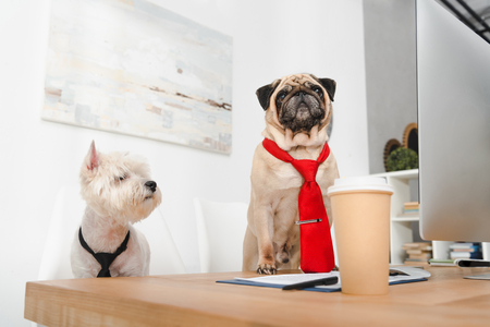 two funny business dogs in neckties working together in office
