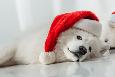 adorable fluffy samoyed dog in santa hat looking away 写真素材