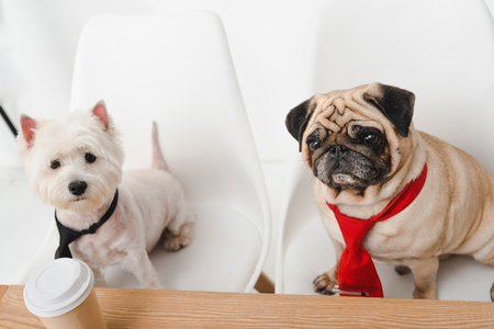 high angle view of two business dogs in neckties sitting together at workplace