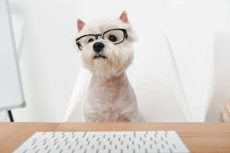 adorable west highland white terrier in eyeglasses working with keyboard in office Stock fotó - 104532975