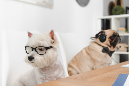 two business dogs in eyeglasses and headset sitting together in office Stock Photo