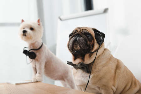 two adorable business dogs with headsets sitting together at workplace Stock Photo