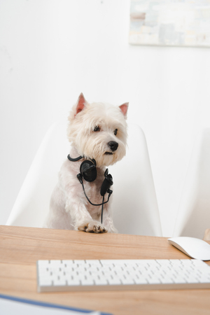 adorable west highland white terrier in headset sitting at workplace Stock Photo