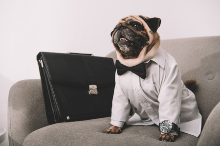 stylish business dog in shirt, bow tie and wrist watch sitting with briefcase on armchair Stock Photo