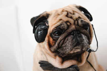 close-up view of pug in headset and bow tie working in office