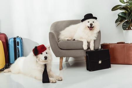 adorable stylish samoyed dogs lying with suitcases