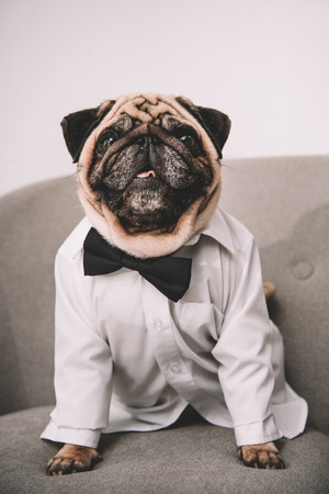 adorable stylish pug in shirt and bow tie sitting on armchair and looking at camera
