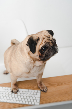 cute pug dog standing at table with computer keyboard