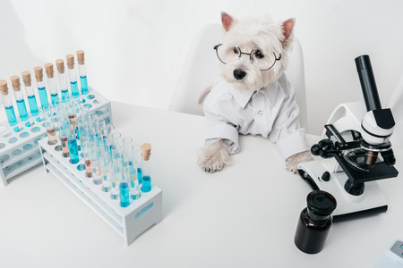 cute dog in eyeglasses and shirt working in chemical laboratory