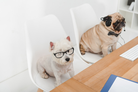 two business dogs in eyeglasses and headset sitting together at workplace
